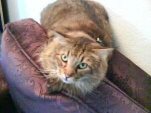 Tony, very fluffy cat.